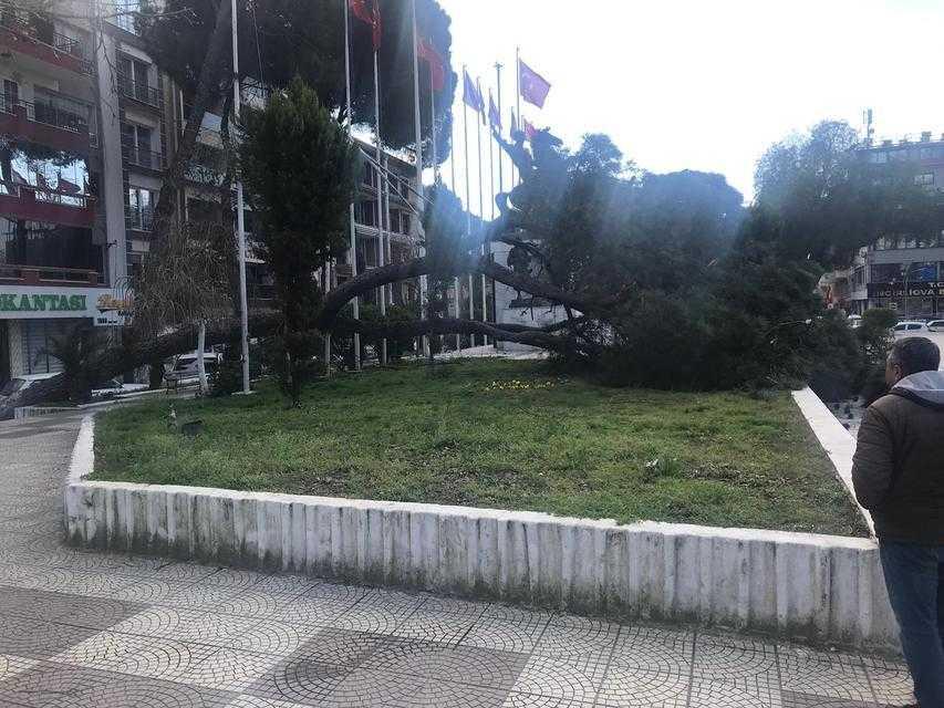 Asırlık Çam Ağacı Devrildi