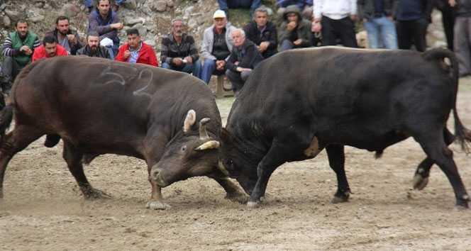 Pehlivan boğalar, İncirliova'da güreşecek